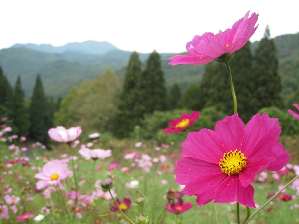 Cosmos flowers on an abandoned mountain ski slope in Yamagata Prefecture.